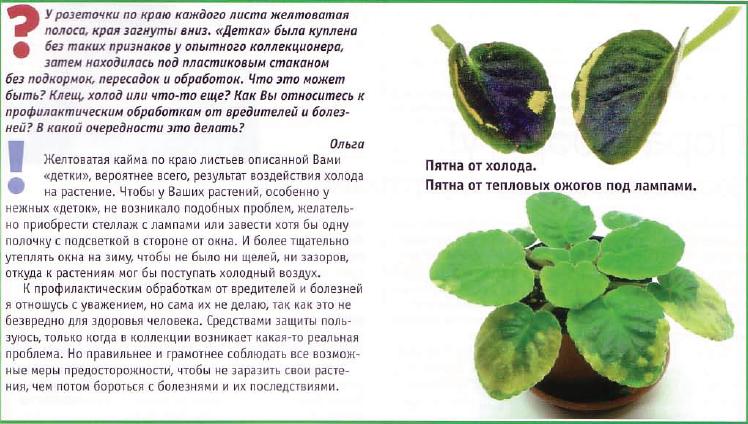 узамбарская фиалка или сенполия - Страница 2 14
