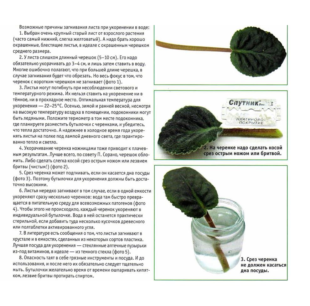узамбарская фиалка или сенполия - Страница 2 Kopija_29.10