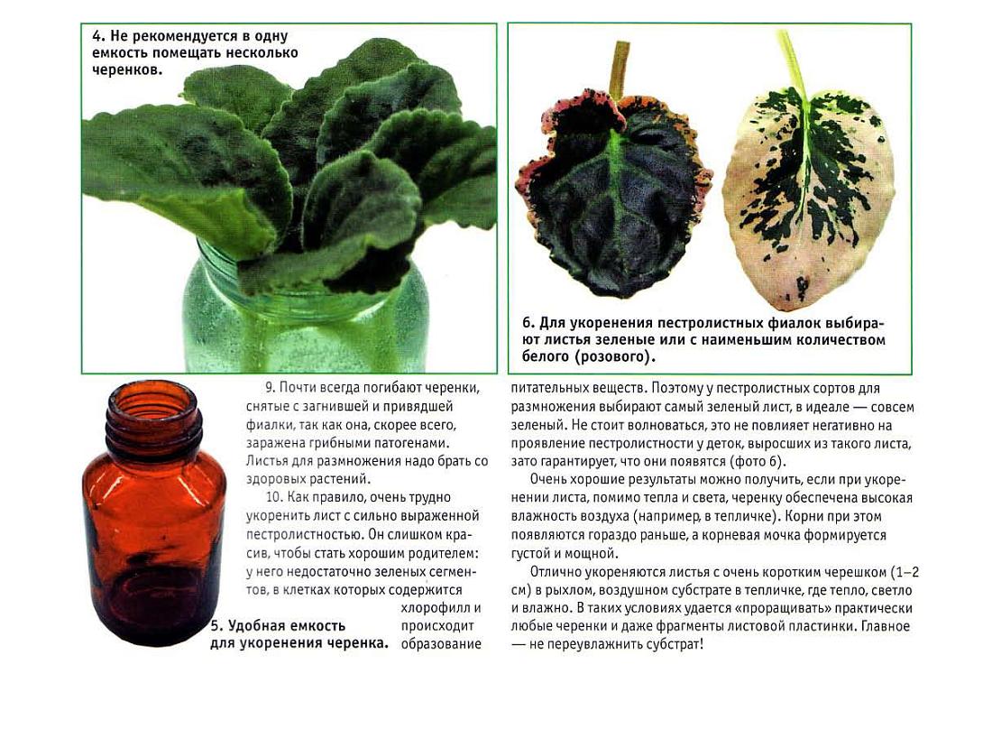 узамбарская фиалка или сенполия - Страница 2 29.10