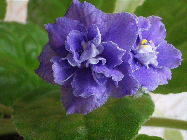 картинки цветов фиалки:
