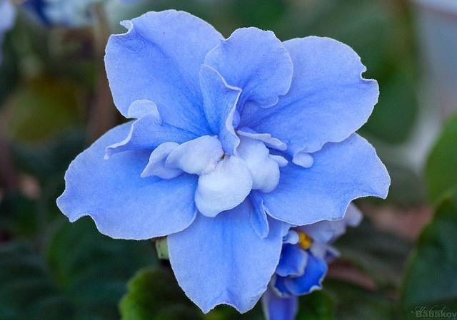 синяя фиалка фото
