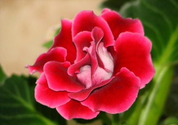 Цветы глоксиния уход размножение 18