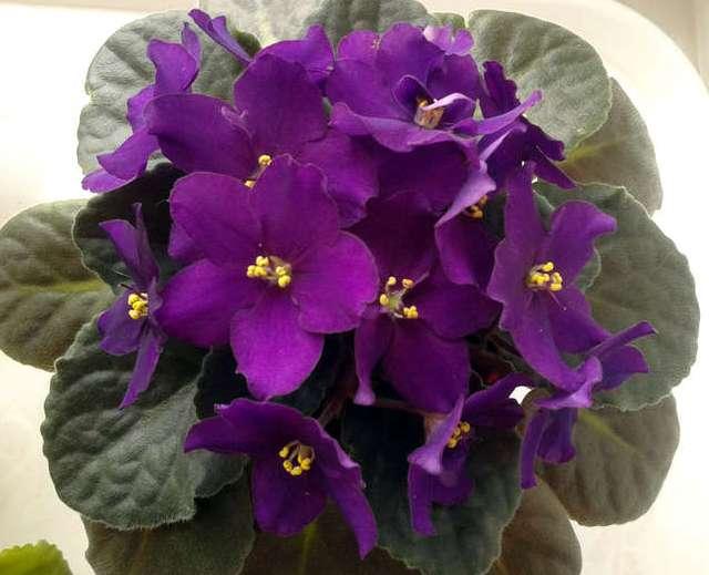Сорта фиалок фиолетового цвета фото
