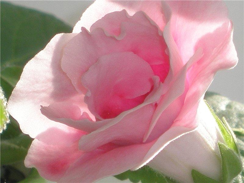 Цветы глоксиния уход размножение 88