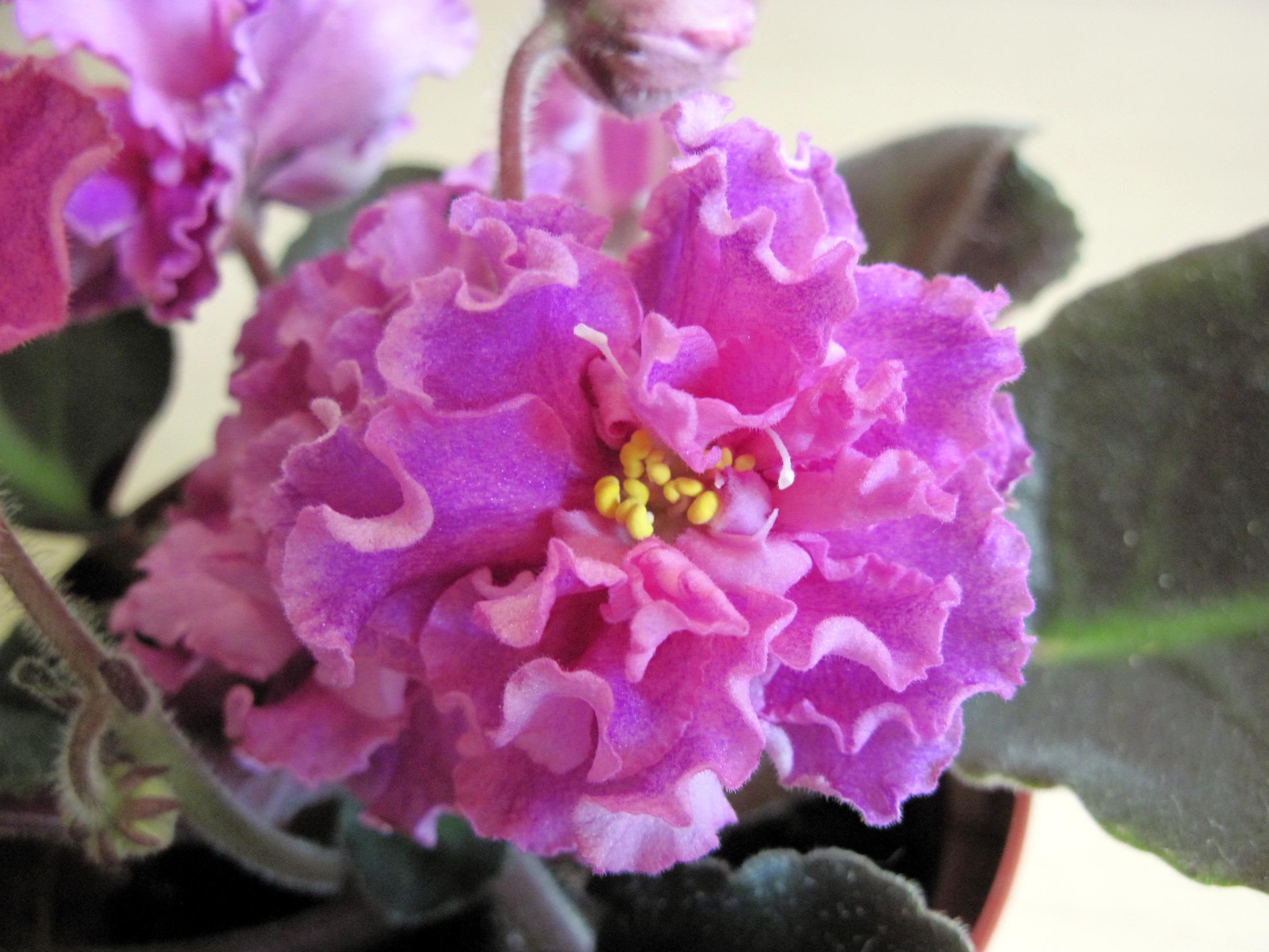 Сорта фиалок с фото каменный цветок